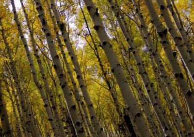 Aspen Trees Tilted